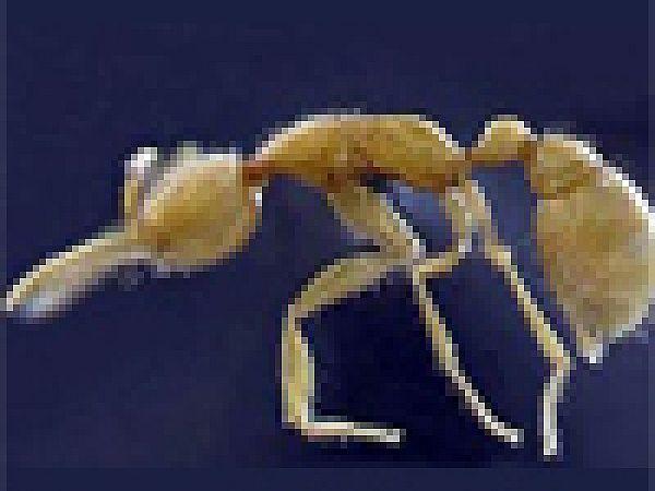 В Амазонии обнаружен новый вид муравьев.